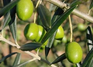 Оливки в Халкидики
